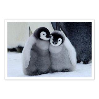 ポストカード 南極2〜コウテイペンギンのヒナ2羽