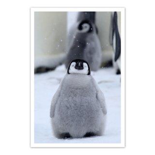 ポストカード 南極3〜コウテイペンギンのヒナ