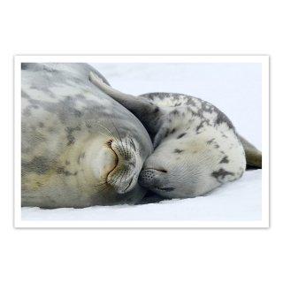 ポストカード 南極4〜ウェッデルアザラシの親子
