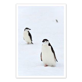 ポストカード 南極5〜ヒゲペンギン