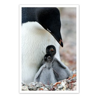 ポストカード 南極7〜アデリーペンギン