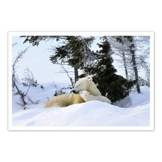 ポストカード カナダ4〜ホッキョクグマの親子