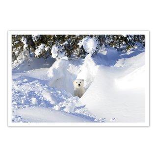 ポストカード カナダ5〜ホッキョクグマの子