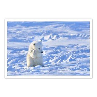 ポストカード カナダ6〜ホッキョクグマの子
