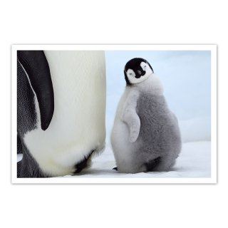 ポストカード 南極8〜コウテイペンギンのヒナ
