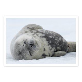 ポストカード 南極9〜ウェッデルアザラシの子