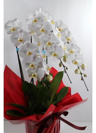 【胡蝶蘭鉢】 白3本立 30輪程度(つぼみ含む) PP-W20