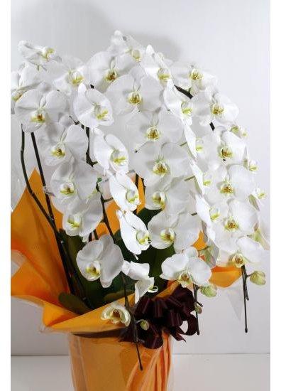 【胡蝶蘭鉢】 白3本立 33輪以上(つぼみ含む) PS-W25
