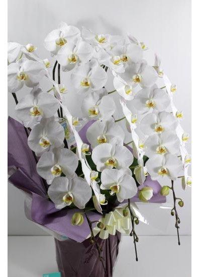 【胡蝶蘭鉢】 白3本立 38輪以上(つぼみ含む) PG-W30