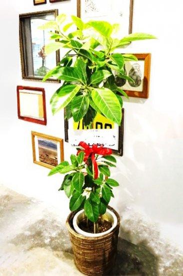 観葉植物 フィカス・アルテシーマ