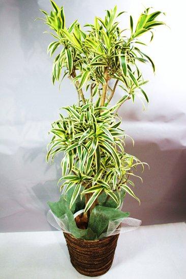 観葉植物 ソングオブ・インディ