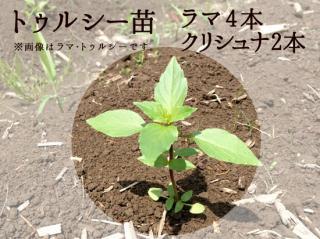 トゥルシー苗9cmポット【ラマ4本+クリシュナ2本セット】自然栽培ホーリーバジル苗