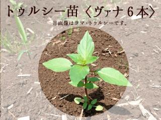 トゥルシー苗9cmポット【ヴァナ6本セット】自然栽培ホーリーバジル苗