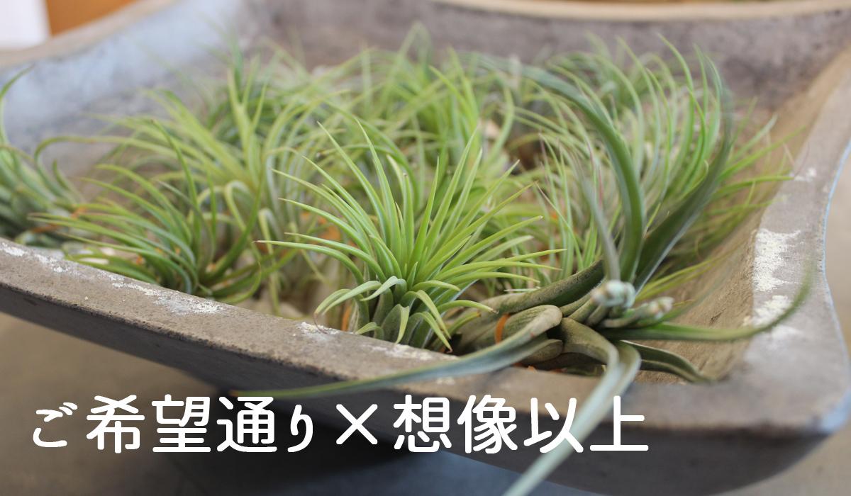 鉢物(観葉植物・コチョウラン)