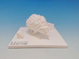 ケープハリネズミ(無着色)