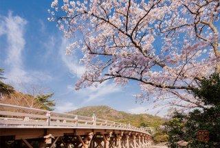ポストカード 桜と宇治橋