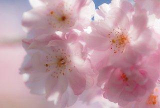 爛漫(桜)
