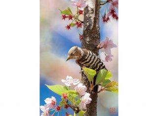 桜にとまって(コゲラ)