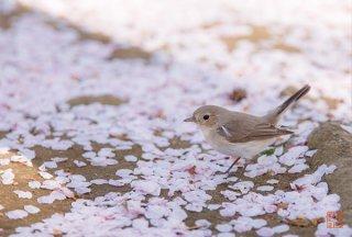 桜の庭に遊ぶ(オジロビタキ)