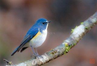 やさしい目の青い鳥(ルリビタキ)