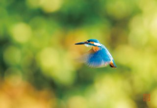 五十鈴川の宝石 幸せの青い鳥(カワセミ)