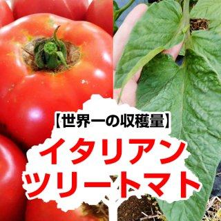 【世界一の収穫量】イタリアンツリートマトの種10粒〜ほんのり塩味〜(送料無料)