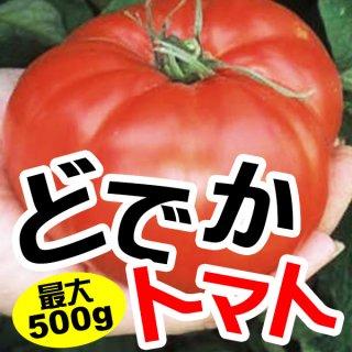 【最大500gサイズ】どでかトマトの種10粒(ビーフステーキトマト系)(送料無料)