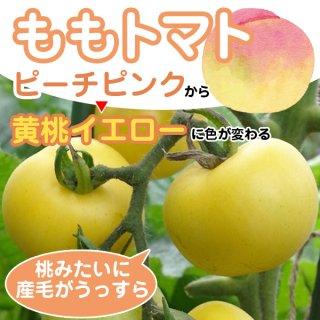 【桃みたい?】ももトマトの種10粒〜ピーチピンクから黄桃イエローに変化〜(送料無料)