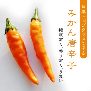 【辛さ日本トップクラス】みかん唐辛子の種10粒〜辛くて糖度が高いからウマい〜(送料無料)