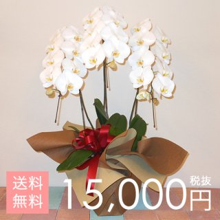 大輪胡蝶蘭3本立ち 27輪以上 白