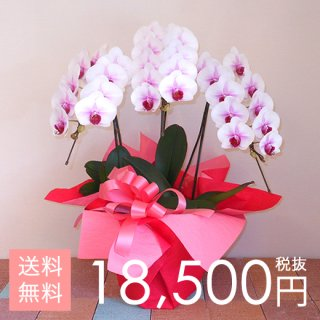 大輪胡蝶蘭3本立ち 30輪〜35輪程度 マウントリップ
