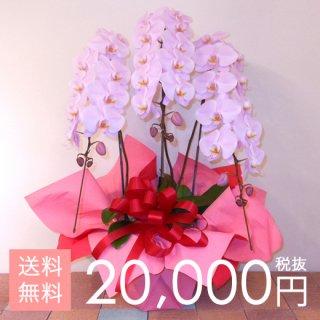 大輪胡蝶蘭3本立ち 33輪〜42輪程度 ピンク