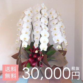 大輪胡蝶蘭3本立ち 45輪〜53輪程度 白
