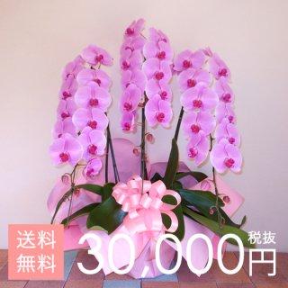 大輪胡蝶蘭3本立ち 45輪〜53輪程度 ピンク