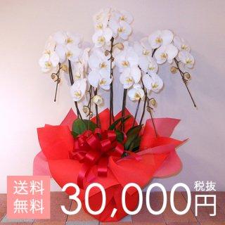 大輪胡蝶蘭5本立ち 40輪〜50輪程度 白