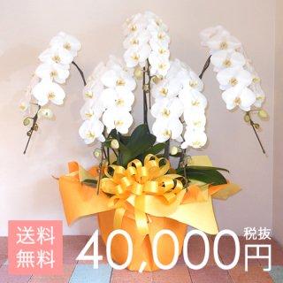 大輪胡蝶蘭5本立ち 55輪〜65輪程度 白
