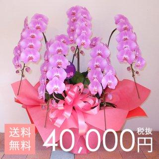 大輪胡蝶蘭5本立ち 55輪〜65輪程度 ピンク