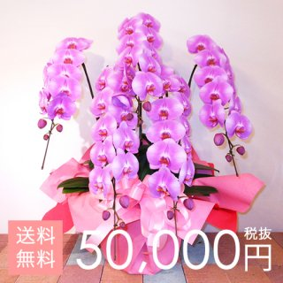 大輪胡蝶蘭5本立ち 70輪〜75輪程度 ピンク