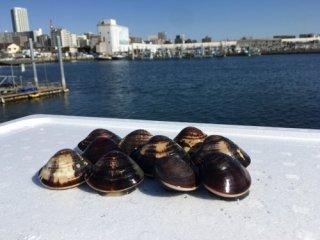 【送料別】千葉県産 江戸前本蛤 小サイズ 500グラムの商品画像