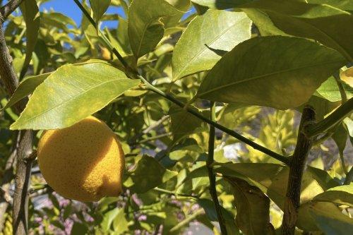 熊野の香り® レモンの葉 エッセンシャルオイル