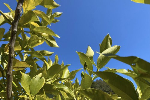 熊野の香り® 仏手柑(ブッシュカン)の葉 フローラルウォーター(芳香蒸留水)