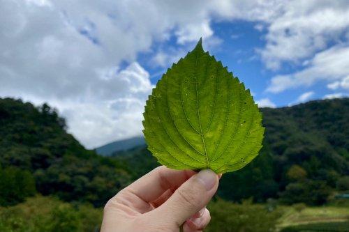 熊野の香り® 青しその葉 フローラルウォーター(芳香蒸留水)