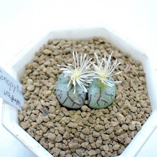 Conophytum vagum