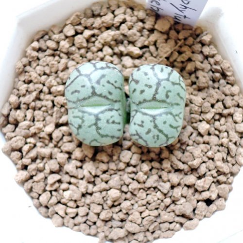 Conophytum wittebergense