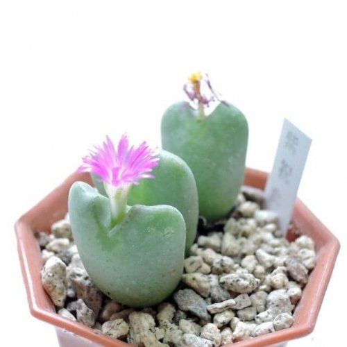 コノフィツム 紫祝典