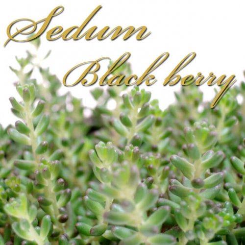 セダム ブラックベリー