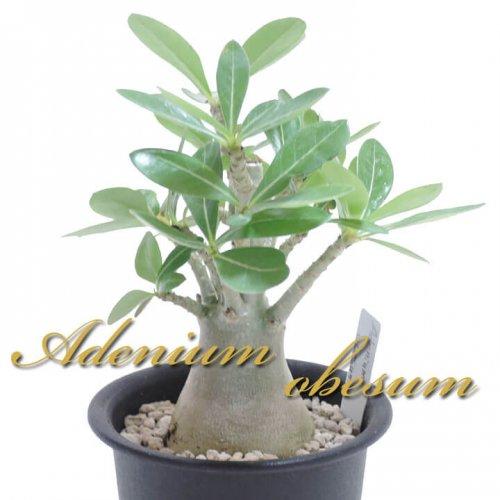 アデニウム オベスム 砂漠の薔薇