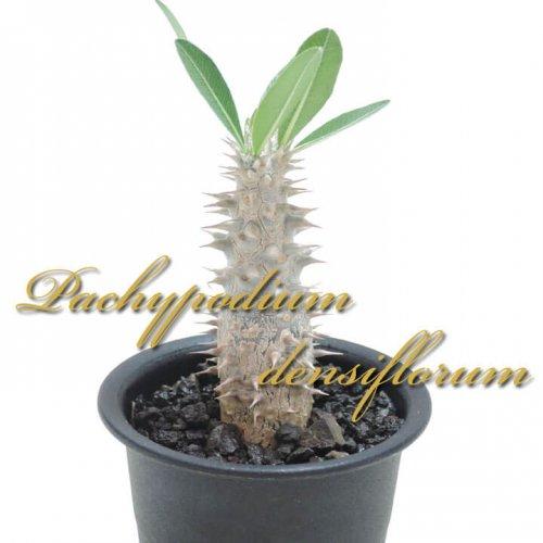 パキポディウム デンシフローラム(シバ女王の玉櫛)