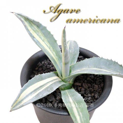 アガベ アメリカナ 縞斑