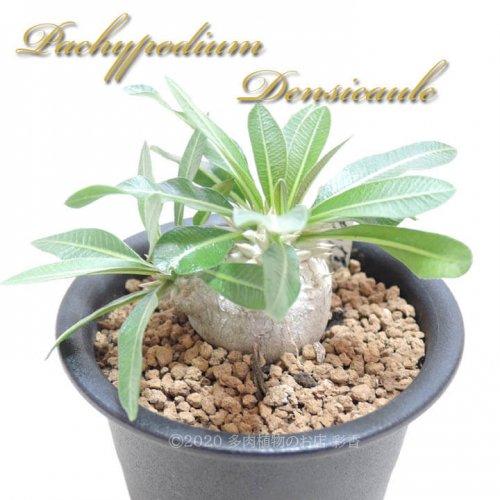 パキポディウム デンシカウレ 恵比寿大黒